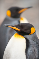 Closeup of King penguin, South Georgia, Antarctica