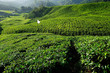 Tea Plantations on the Hill