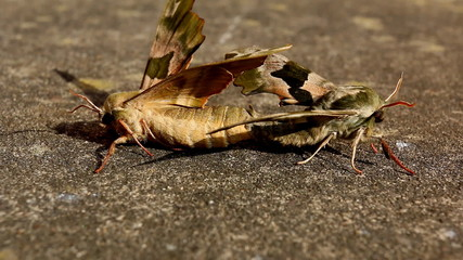 Close up of mating Lime Hawk moths