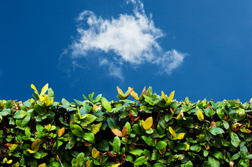 Green hedge with  blue sky and white clouds 2