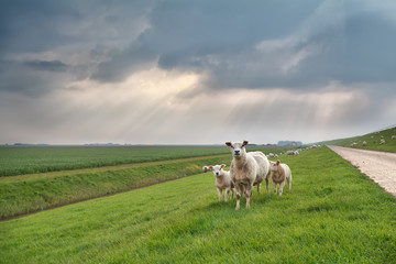sheep and lambs on green pasture
