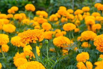 Marigolds flower garden 2