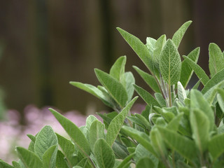 Sage in the herbal garden