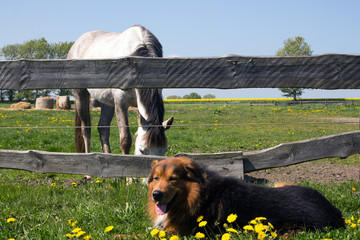 Hund macht Pause vor Pferdekoppel