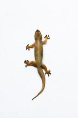 Gecko lizard isolated on white ,House lizard