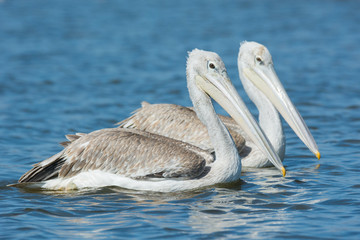 Two Pink-backed Pelicans swimming side by side