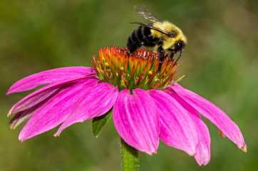 Bumble Bee on Purple Coneflower