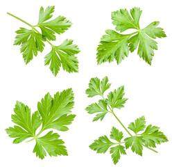 Collections of Parsley leaves isolated on white background, clos