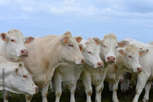 Papiers peints Vache charolais