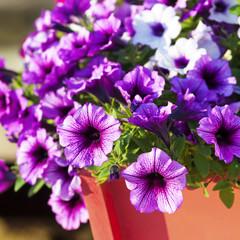Multiflora Petunias