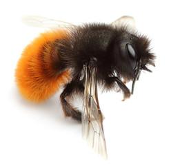 Dead bumblebee.