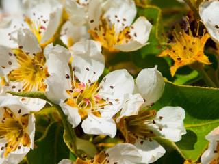 Cherry tree blooming