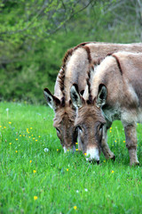Des ânes au paturage.