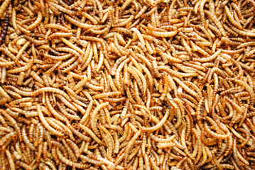 Background of Hundreds of Dried Meal Worms