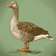 vector engraving goose in retro style