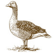 vector engraving goose on white background