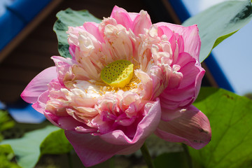 closeup of a beautiful pink lotus