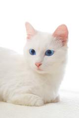 blue-eyed white cat