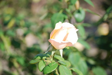 Bud of rose