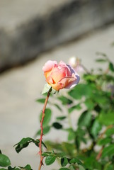 Rose budding