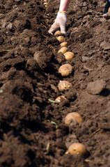 Women Sowing Potato, Seeding Process.