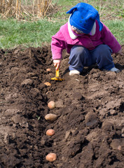 Cute Little Girl Sowing Potato in a Row, Seeding Process.