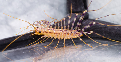Colorful Centipede looking for the Eat, Scary Predator.