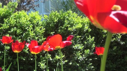 colorful tulips. tulips in spring sun.