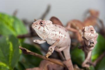 Panther chameleon (Furcifer pardalis) babies