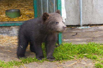 Brown bear (Ursus arctos) baby