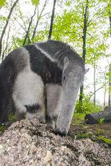 Giant anteater (Myrmecophaga tridactyla) eats ants
