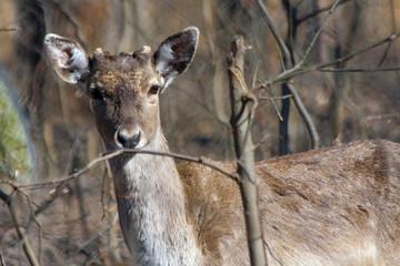 Persian fallow deer (Dama mesopotamica)