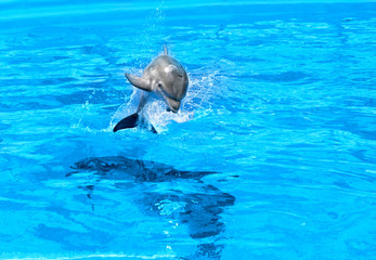Dolphin mother with her little dolphin swims in the pool. Child