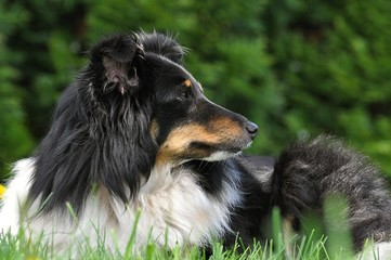 sheltie lying in the grass