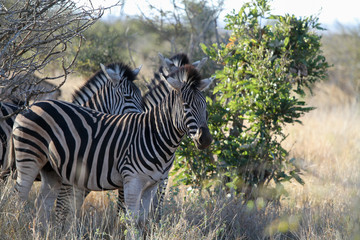 Gang of Zebras