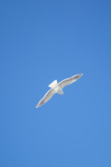 A seagull in flight against the blue sky