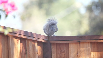 vocalizing squirrel on fence