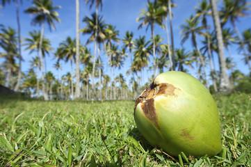 Coconut Green Grass Palm Trees Grove Blue Sky
