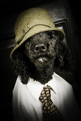 Dapper Dog - Poodle Dressed up in Menswear