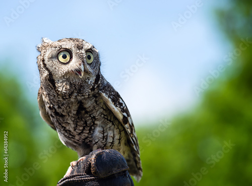Poster Uil Eastern Screech Owl (Megascops asio)