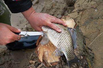 Cutting fish caught