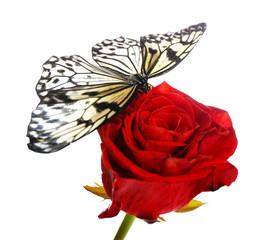 Beautiful butterfly sitting on red rose, isolated on white