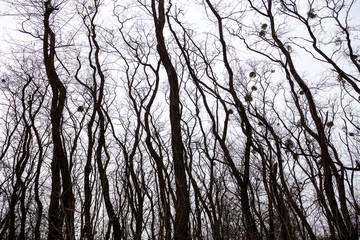Silhouettes of bare trees with mistletoes