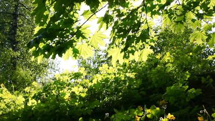 Sun breaking through green leaves. Shot with motorized slider