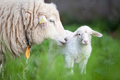 Foto op Aluminium Schapen Lamm mit Mutter