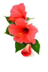 Postcard from hibiscus flowers