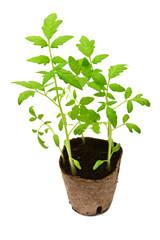 Tomato plant in a peat pot