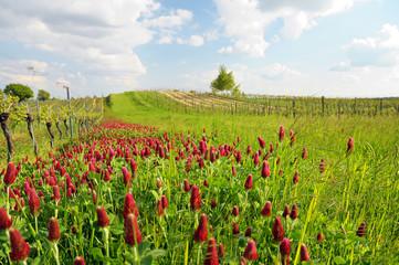 Landschaft im Burgenland mit rotem Klee