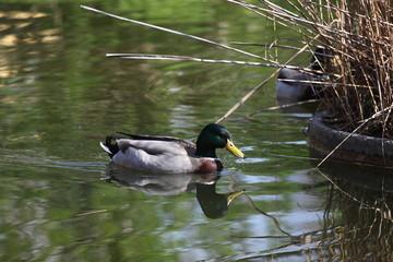 Schwimmende Ente