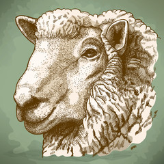 vector illustration of engraving head of sheep